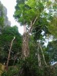 gnarly tree gua charas malaysia