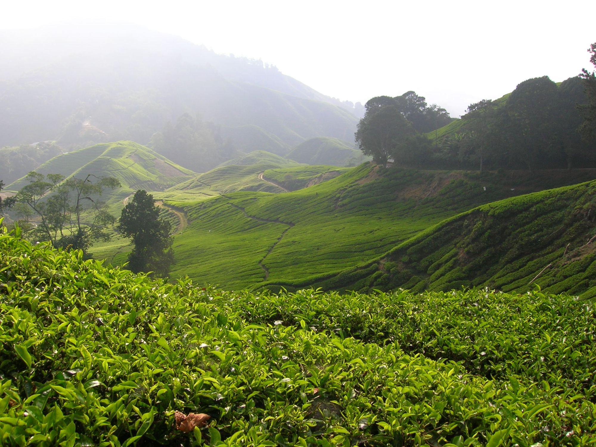 cameron highlands malaysia tea plantation