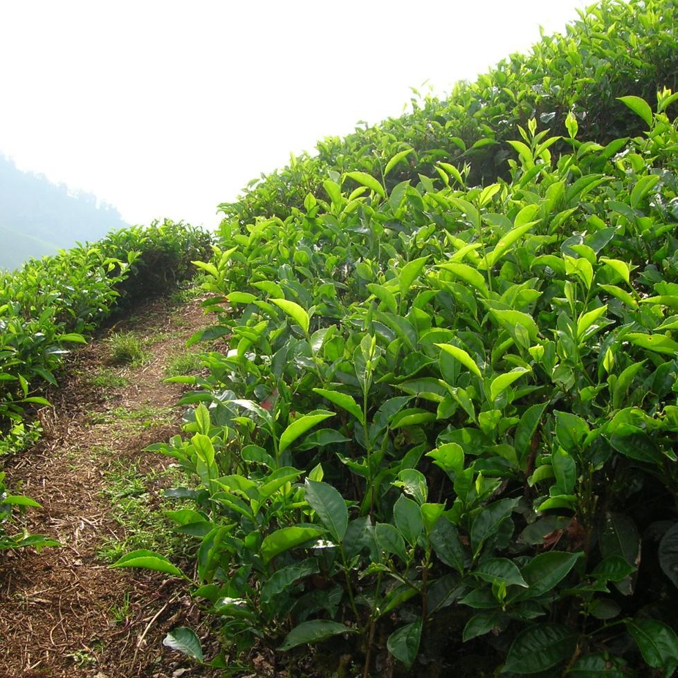 cameron highlands malaysia tea plant plantation