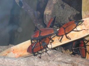 cameron highlands malaysia beetles