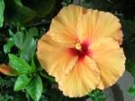 cameron highlands malaysia flower