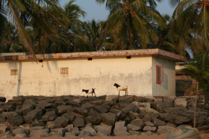 goats bekal kerala india travel