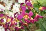 orchid kuala lumpur malaysia