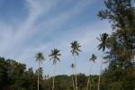 palm trees malaysia