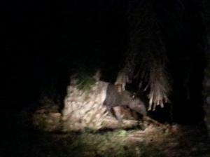 tapir animal jungle safari taman negara malaysia