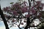 flower tree kota kinabalu sabah borneo malaysia travel