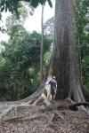 tropical tree jungle malaysia
