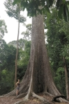 aciant tropical tree malaysia borneo travel nature