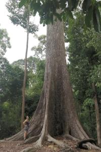 aciant tropical tree malaysia borneo travel nature
