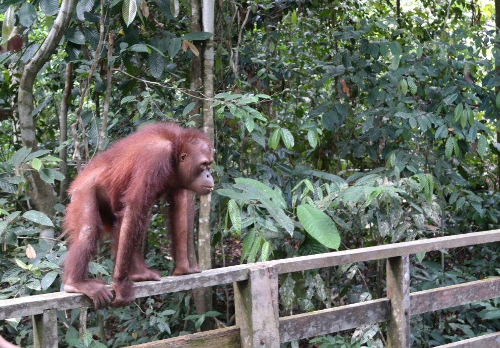 orangutan nature travel Sabah Borneo Malaysia