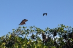flying foxes bats animals travel indonesia