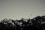 flying fox bat animal indonesia travel