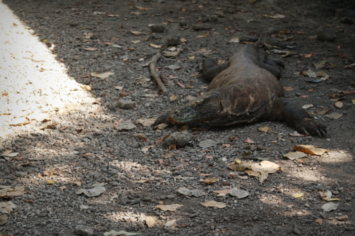 komodo dragon travel animal island indonesia