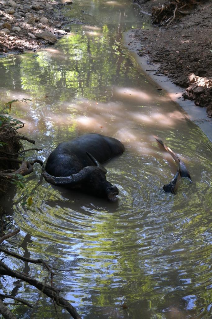 waterbuffalo animal rincha island komodo park indonesia