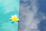 frangipani flower blossom