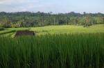 rice fields tabanan bali indonesia travel