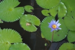 ubud bali indonesia travel water lily pad flower frog
