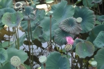 ubud bali indonesia travel saraswati water temple lily flower