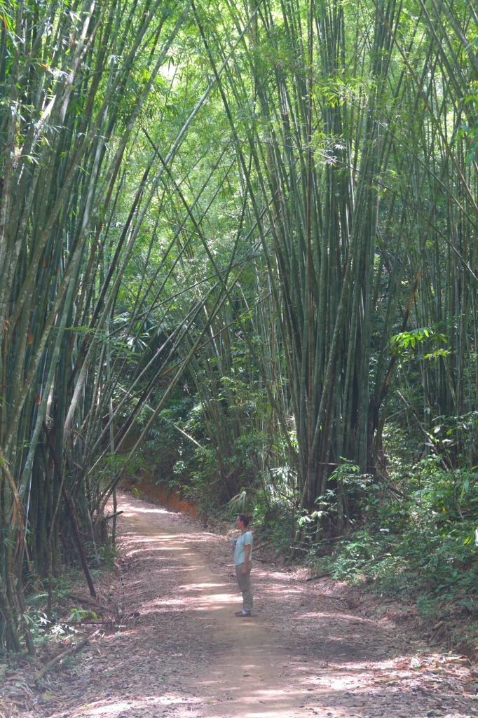 bamboo forest woods koh sok national park travel